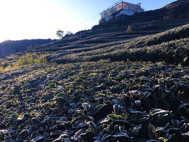 堅韌茶樹與大自然拚搏