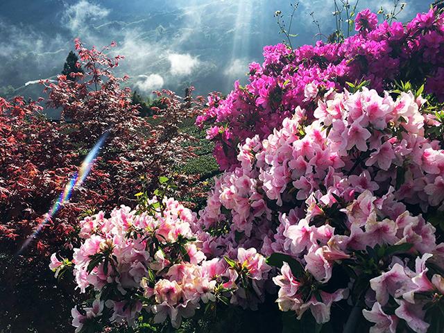 桃紅與粉嫩杜鵑花