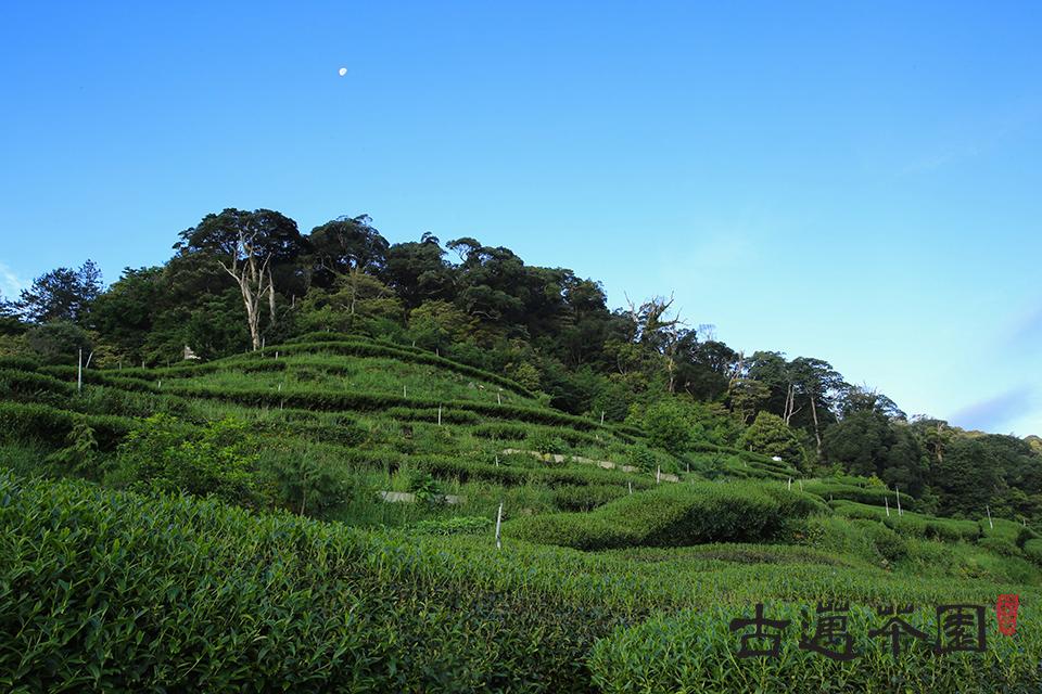 使用黑森林純淨甘露水質來灌溉的古邁茶