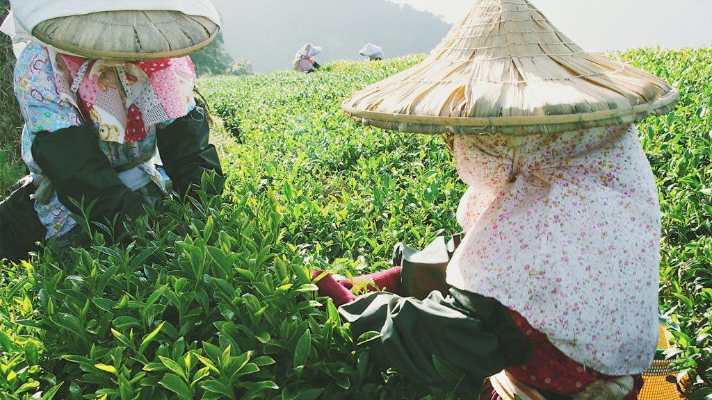 一、人工採茶